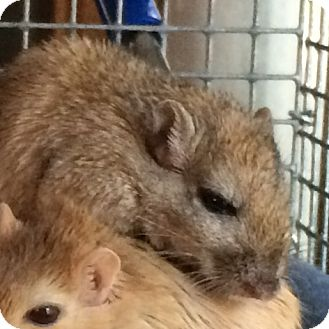 Gerbil for adoption in St. Paul, Minnesota - Ethel