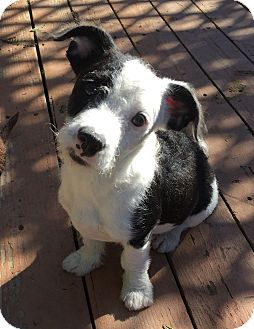 Fox Terrier (Wirehaired)/Cairn Terrier Mix Puppy for adoption in Santa Ana, California - Romeo