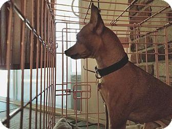 Miniature Pinscher Dog for adoption in Fullerton, California - Jack