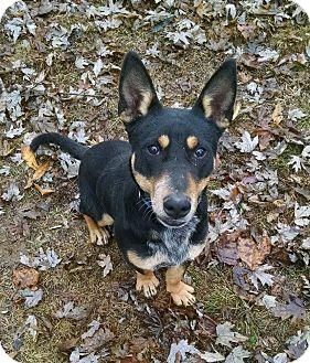 Cattle Dog/Basset Hound Mix Dog for adoption in Hermitage, Tennessee - Nick