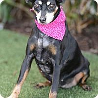Adopt A Pet :: Adelaide - Rancho Palos Verdes, CA