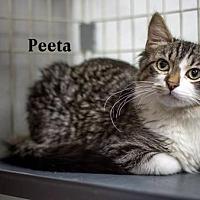 Adopt A Pet :: Peeta - Albuquerque, NM