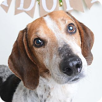 Mixed Breed (Medium)/Hound (Unknown Type) Mix Dog for adoption in Wilmington, Delaware - Meatball