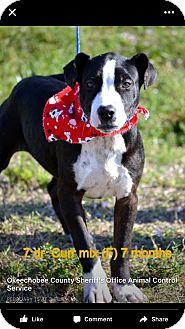 American Bulldog/Labrador Retriever Mix Puppy for adoption in West Palm Beach, Florida - Storm