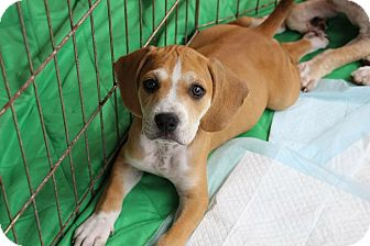 Basset Hound/American Bulldog Mix Puppy for adoption in Ft. Myers, Florida - Maya