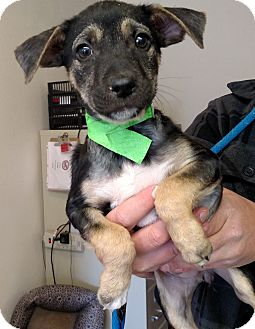 Australian Cattle Dog Mix Puppy for adoption in Divide, Colorado - Cairo