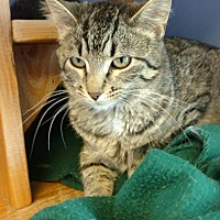 Domestic Shorthair Cat for adoption in Brookings, South Dakota - Mai Tai