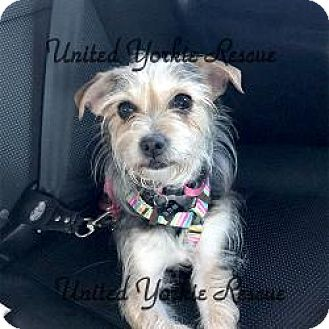 Yorkie, Yorkshire Terrier/Jack Russell Terrier Mix Dog for adoption in Martinsburg, West Virginia - Daisy