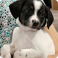 Adopt A Pet :: Rizzo - Duluth, GA
