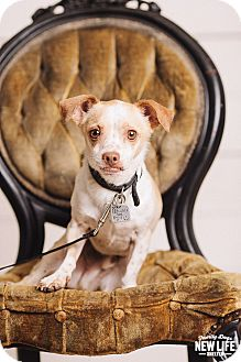 Chihuahua/Cavalier King Charles Spaniel Mix Dog for adoption in Portland, Oregon - Buster