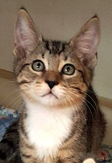 Domestic Shorthair Kitten for adoption in Key Largo, Florida - Charlie