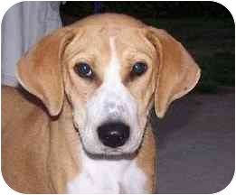Beagle Mix Dog for adoption in Marion, Arkansas - Penny