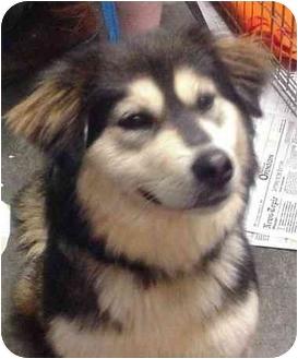 Husky/Golden Retriever Mix Dog for adoption in Manassas, Virginia - Lola