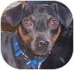 Miniature Pinscher Mix Dog for adoption in Hamilton, Ontario - Snuffy