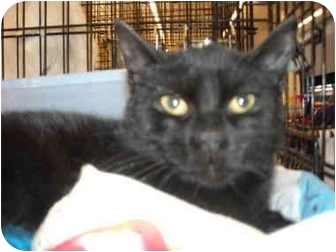 Domestic Shorthair Cat for adoption in Riverside, Rhode Island - Macey