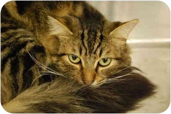 Domestic Longhair Cat for adoption in Modesto, California - Sarge