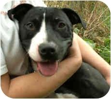 Labrador Retriever/American Pit Bull Terrier Mix Dog for adoption in Milton, Massachusetts - Gracie