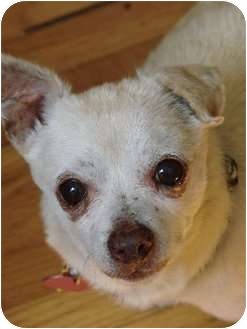 Chihuahua Mix Dog for adoption in Studio City, California - Jack