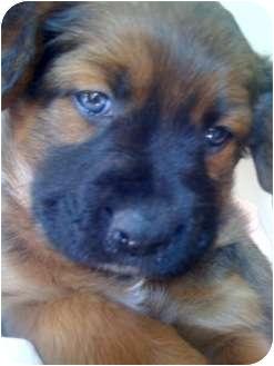 Australian Shepherd/Golden Retriever Mix Puppy for adoption in Westminster, Colorado - PORSCHE
