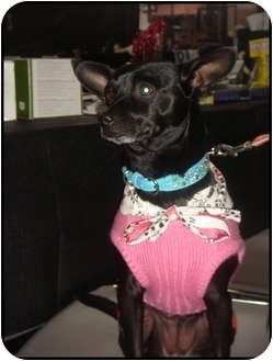 Chihuahua Mix Dog for adoption in Lake Forest, California - Hope