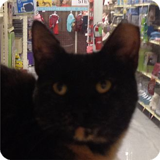 Domestic Shorthair Cat for adoption in Weatherford, Texas - Hallie