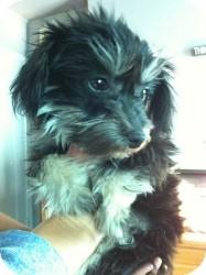 Yorkie, Yorkshire Terrier/Shih Tzu Mix Dog for adoption in Encino, California - Preston