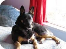 German Shepherd Dog Mix Dog for adoption in Okotoks, Alberta - Chico