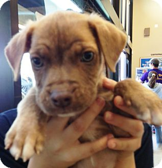 Boxer Mix Puppy for adoption in Walker, Louisiana - Fred
