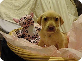 Labrador Retriever Mix Puppy for adoption in Walker, Louisiana - Brulee