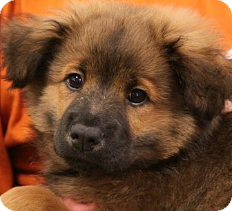 Keeshond Mix Puppy for adoption in Olive Branch, Mississippi - Pepper 4 of 5