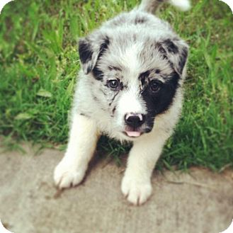 Australian Shepherd Puppy for adoption in Coventry, Rhode Island - Pepper