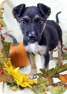 Shepherd (Unknown Type) Mix Puppy for adoption in Westminster, Colorado - Plenty