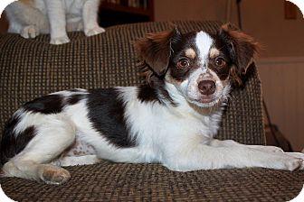 Chihuahua Mix Dog for adoption in Phoenix, Arizona - Lucy