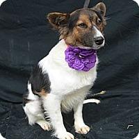 Adopt A Pet :: Sugar - Plano, TX