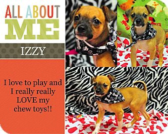 Terrier (Unknown Type, Small) Mix Puppy for adoption in Corpus Christi, Texas - Izzy