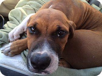 Boxer Mix Puppy for adoption in Tampa, Florida - Hudson