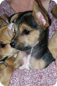 Chihuahua/Yorkie, Yorkshire Terrier Mix Puppy for adoption in Warwick, Rhode Island - Barkley