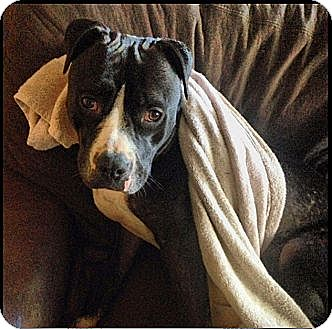 American Pit Bull Terrier Mix Dog for adoption in Huntington Beach, California - Reese
