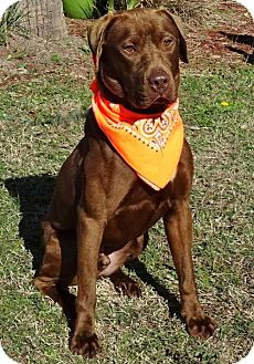 Labrador Retriever Dog for adoption in Port St. Joe, Florida - Houston-DAWGS
