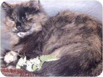 Domestic Longhair Cat for adoption in Grass Valley, California - Kali