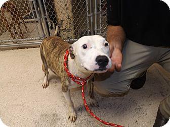 American Pit Bull Terrier Mix Dog for adoption in Thomaston, Georgia - Carla