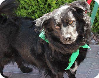 Corgi/Labrador Retriever Mix Dog for adoption in Las Vegas, Nevada - ONYX