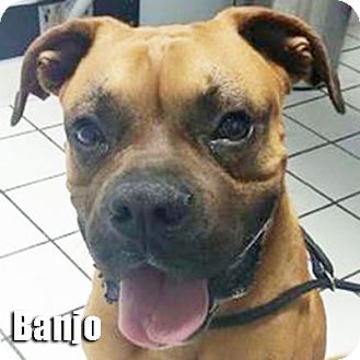 Boxer Dog for adoption in Encino, California - Banjo