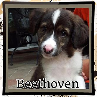 Border Collie/Retriever (Unknown Type) Mix Puppy for adoption in Kenmore, New York - Beethoven