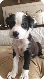 Labrador Retriever Mix Puppy for adoption in Eden Prairie, Minnesota - Dexter