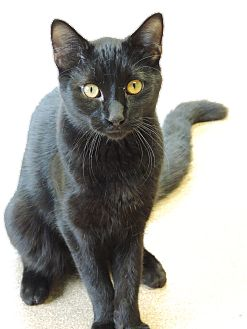 Bombay Cat for adoption in Brookings, South Dakota - Sir Meows A Lot