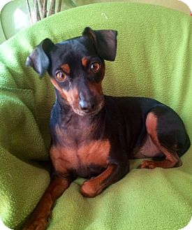 Miniature Pinscher Mix Dog for adoption in Santa Monica, California - BRADY