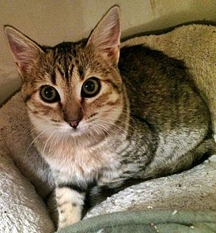 Domestic Shorthair Cat for adoption in Santa Fe, New Mexico - Maddi