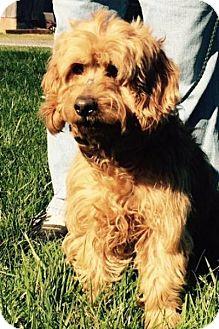 Cocker Spaniel Mix Dog for adoption in Powder Springs, Georgia - Buffy