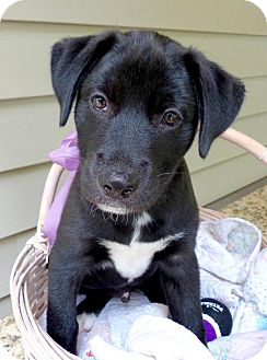 Labrador Retriever/Shepherd (Unknown Type) Mix Puppy for adoption in Baton Rouge, Louisiana - Cooper